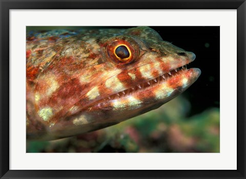 Framed Lizardfish, Indonesia Print