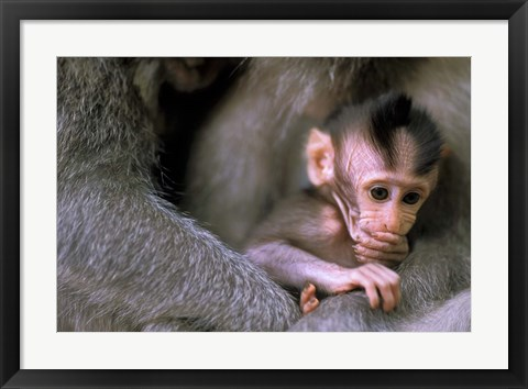 Framed Indonesia, Bali, Ubud, Long tailed macaque Print
