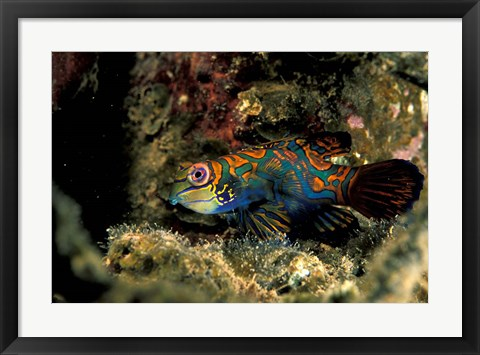 Framed Indonesia, Indo Pacific Mandarinfish Print