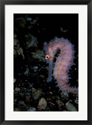 Framed Thorny Seahorse, Indonesia Print