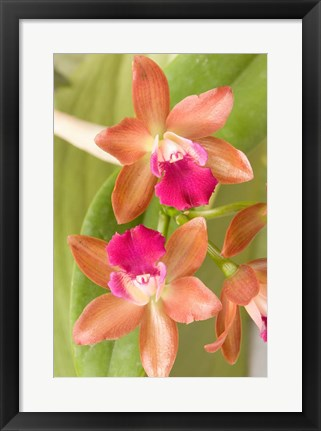 Framed Orchid Blooms in the Spring, Thailand Print