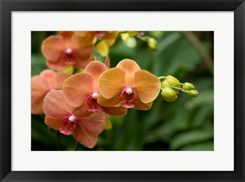 Framed Singapore. National Orchid Garden - Peach Orchids Print