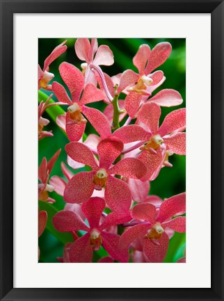 Framed Singapore. National Orchid Garden - salmon colored Orchids Print