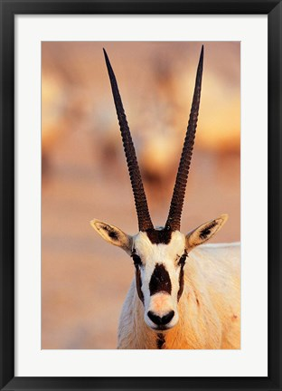 Framed Arabian Oryx wildlife on Sir Bani Yas Island, UAE Print