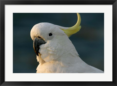 Framed Cockatoo, Sydney Harbor, Australia Print