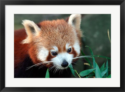 Framed Red Panda, Taronga Zoo, Sydney, Australia Print