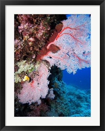 Framed Fan Coral, Agincourt Reef, Great Barrier Reef, North Queensland, Australia Print