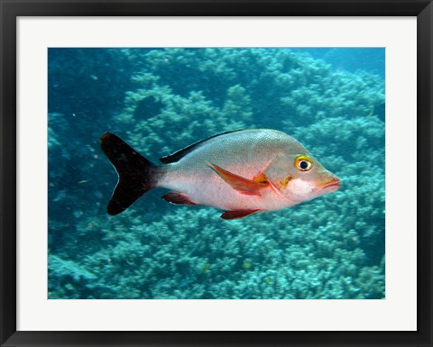 Framed Paddletail fish, Agincourt, Great Barrier Reef, Australia Print