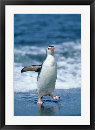 Framed Royal Penguin, Macquarie, Austalian sub-Antarctic Print