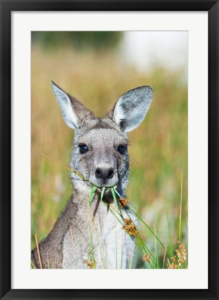 Framed Eastern grey kangaroo eating, Australia Print