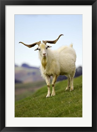 Framed Goat, Taieri, near Dunedin, South Island, New Zealand Print