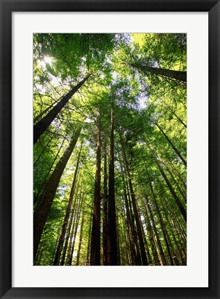 Framed Redwood Forest, Rotorua, New Zealand Print