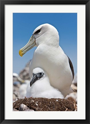 Framed Australia, Tasmania, Bass Strait Shy albatross with chick Print