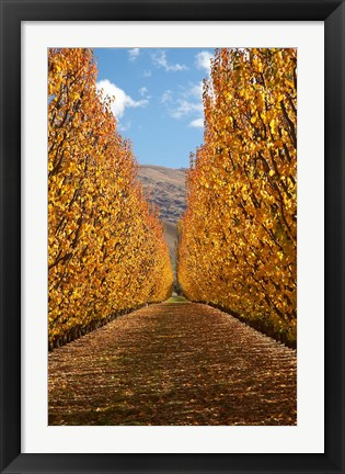 Framed Autumn, Orchard, Roxburgh, South Island, New Zealand Print