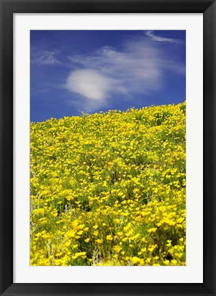 Framed Californian Poppies, Central Otago, South Island, New Zealand Print
