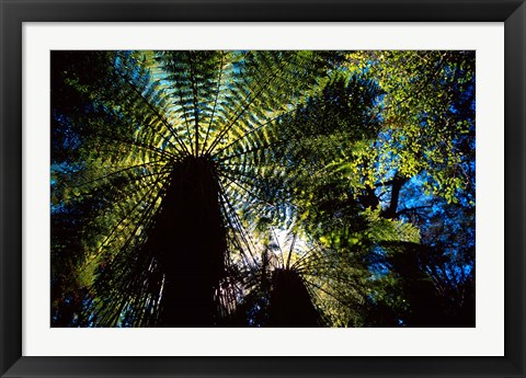 Framed Tree Ferns, Catlins, South Island, New Zealand Print