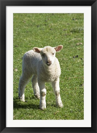 Framed Lamb, Farm animal, Otago, South Island, New Zealand Print