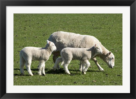 Framed Sheep and Lambs, near Dunedin, Otago, South Island, New Zealand Print