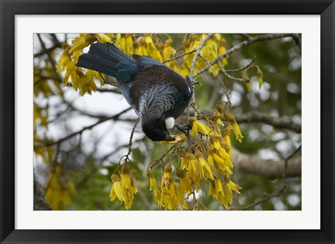 Framed Tui bird, Kowhai Tree, North Island, New Zealand Print