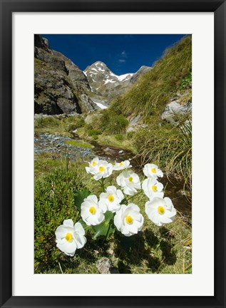 Framed New Zealand Arthurs Pass, Mountain buttercup flower Print