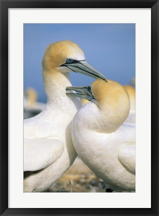 Framed Pair of Gannet tropical birds, Cape Kidnappers New Zealand Print
