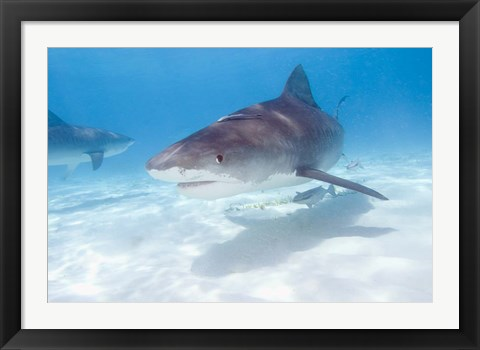 Framed Tiger Sharks, Northern Bahamas Print