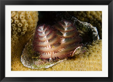 Framed Marine life, Christmas Tree Worm, Star Coral, Bonaire Print