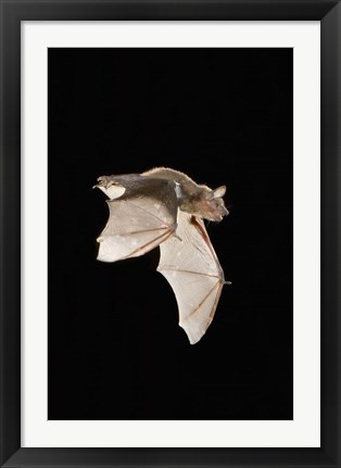 Framed Evening Bat leaving Day roost in tree hole, Texas Print