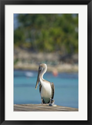 Framed Dominican Republic, Bayahibe, Pelican bird Print
