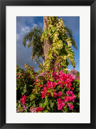Framed Bougainvillea flora, Bavaro, Higuey, Punta Cana, Dominican Republic Print
