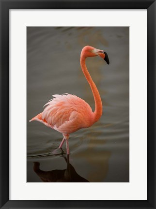 Framed Flamingo, Tropical bird, Dominican Republic Print