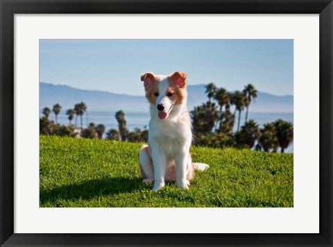 Framed Border Collie puppy dog in a field Print