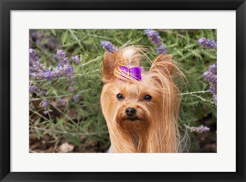 Framed Purebred Yorkshire Terrier dog, purple bow Print