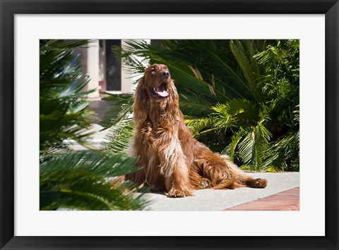Framed Irish Setter dog surrounded by cycads Print