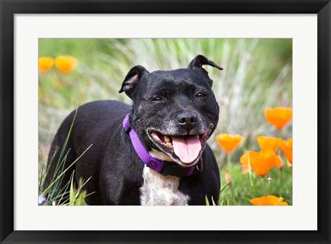 Framed Staffordshire Bull Terrier standing in a field of wild Poppy flowers Print