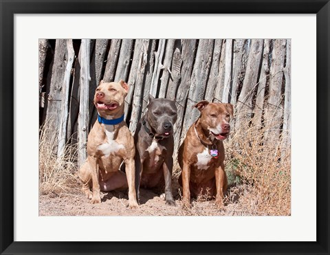 Framed American Pitt Bull Terrier dogs, NM Print