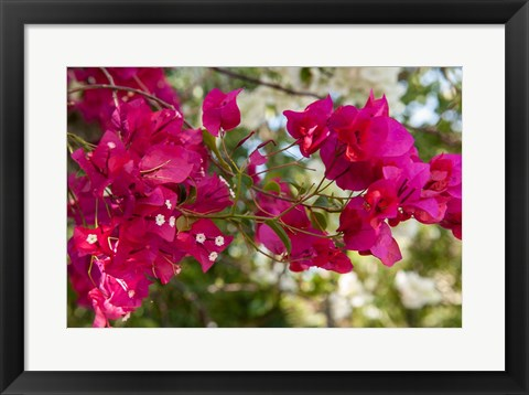 Framed Bougainvillea flowers, Grand Cayman, Cayman Islands, British West Indies Print