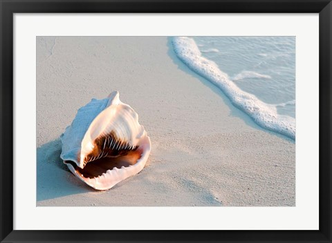 Framed Conch Shell At Sunset, St Martin, Caribbean Print