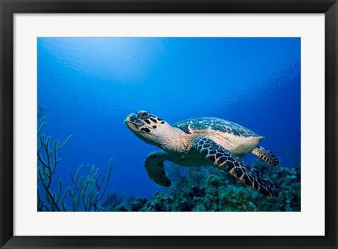 Framed Cayman Islands, Hawksbill Sea Turtle and coral reef Print