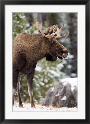Framed Alberta, Jasper National Park Bull Moose wildlife Print