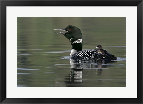 Framed Common Loon with Chick Print