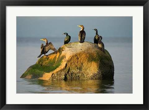 Framed Double-crested cormorant bird, British Columbia Print
