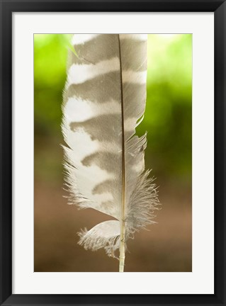 Framed Barred owl feather, Stanley Park, British Columbia Print