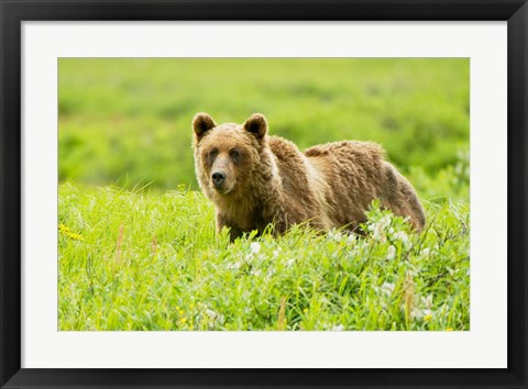 Framed Grizzly bear, Sacred Headwaters, British Columbia Print