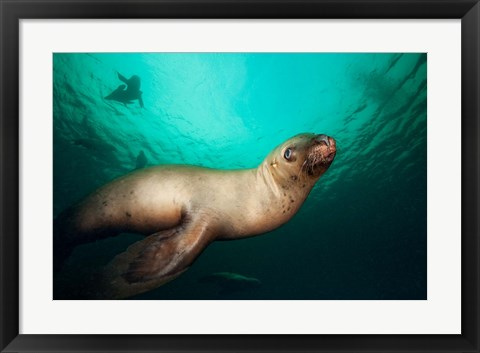 Framed British Columbia, Hornby Island, Steller's Sea Lions Print