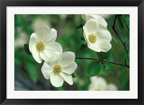 Framed Pacific Dogwood Along Merced River, Yosemite National Park, California Print