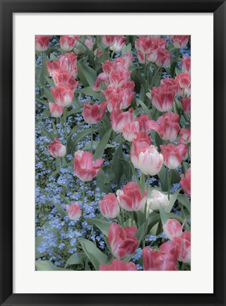Framed Spring Tulips of Red and White Color, Victoria, British Columbia, Canada Print