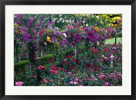 Framed Rose Garden at Butchard Gardens In Full Bloom, Victoria, British Columbia, Canada Print