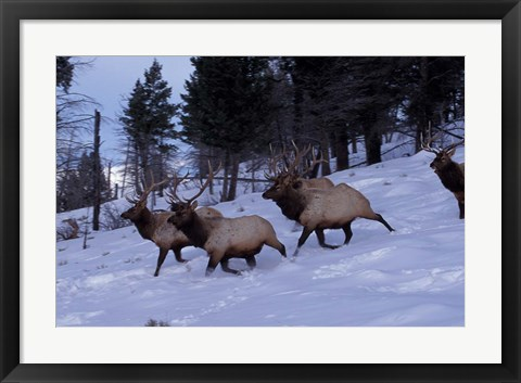 Framed Elk or Wapiti, Yellowstone National Park, Wyoming Print