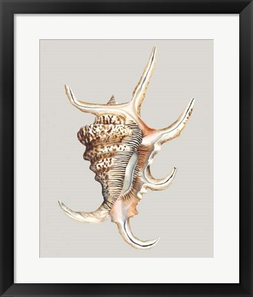 Framed Spider Conch Print